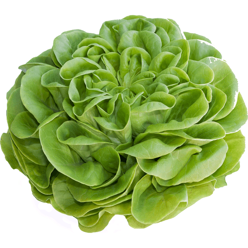 Mignonette Lettuce (Compact Red-Tinged Butterhead Varieties)