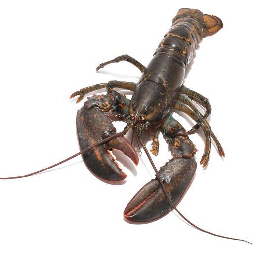 Live Lobster Under 1 1 4 Lbs Lobster Crab Foothills Iga Market